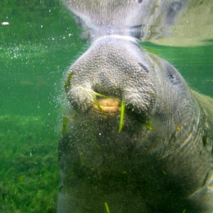 manatee pulls up eelgrass
