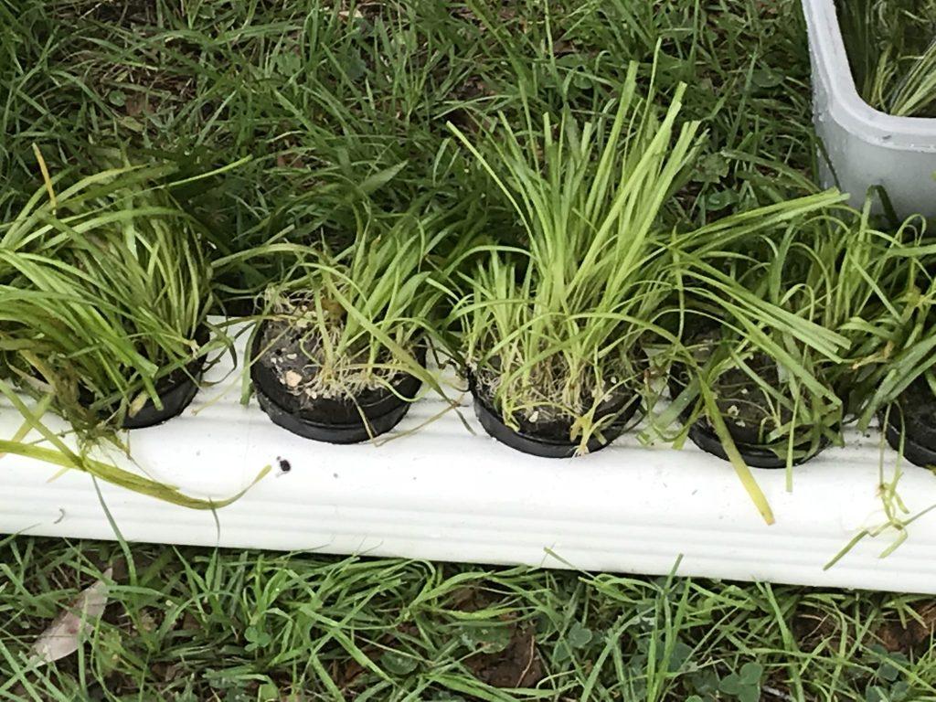 Eelgrass plantings Hunter Springs