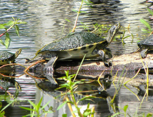 Turtles are Abundant in Kings Bay